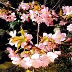河津桜の花言葉